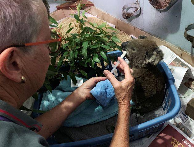 Un koala brûlé, soigné dans un hôpital de Port Macquarie en Australie le 7...