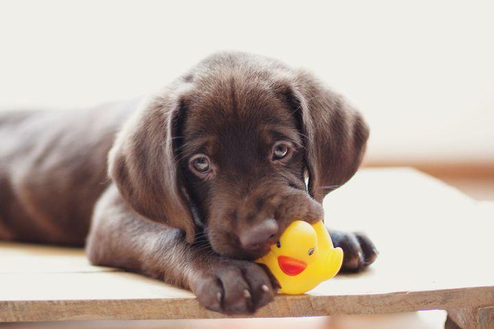 Perro con patito de goma de juguete.