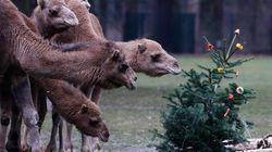 Festin de Noël à base de sapins pour les animaux du zoo de