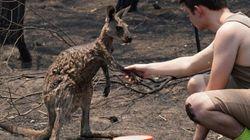 Αυστραλία: Καμένο καγκουρό ζητά νερό από ένα