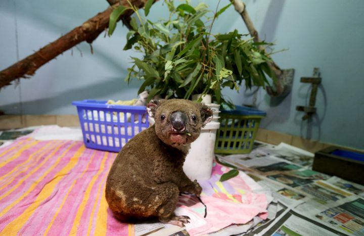 A koala named Paul from Lake Innes Nature Reserve recovers from his burns in the ICU at The Port Macquarie Koala Hospital on