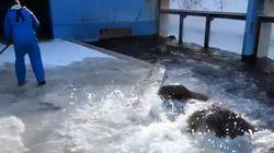 오타루 수족관의 바다코끼리는 눈 치우는 사육사를