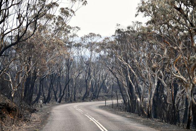 시드니 북서쪽 120킬로미터 블루 마운틴스의 웨이슨산. 불탄 나무들. 12월