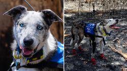 호주의 불타는 숲속에서 코알라 찾는 임무를 맡은 개가 있다