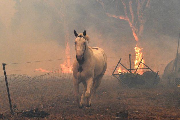 12月31日、ナウラで火災から逃げる馬。