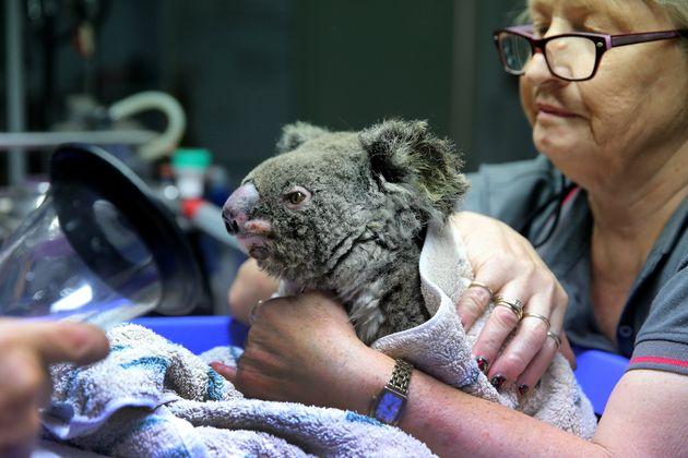ニューサウスウェールズ州でコアラの救急に対応しているポートマッコリー・コアラ病院には、救出されたコアラが連日運び込まれる。