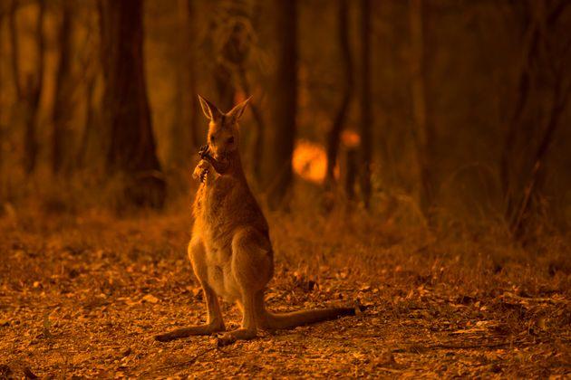 森林に生息するワラビーなどの動物たちも被害を受けている。