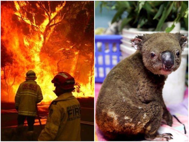 12月18日、ニューサウスウェールズ州のシドニーで撮影された写真 / 火傷を負ったコアラ