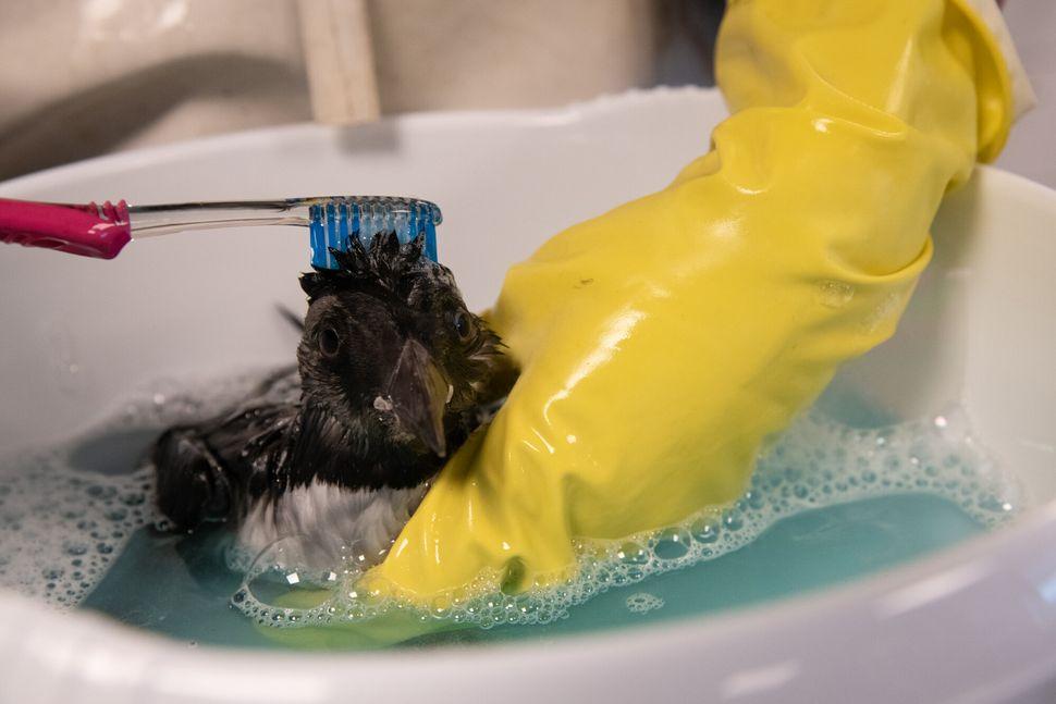 An oiled puffling gets a bubble bath.
