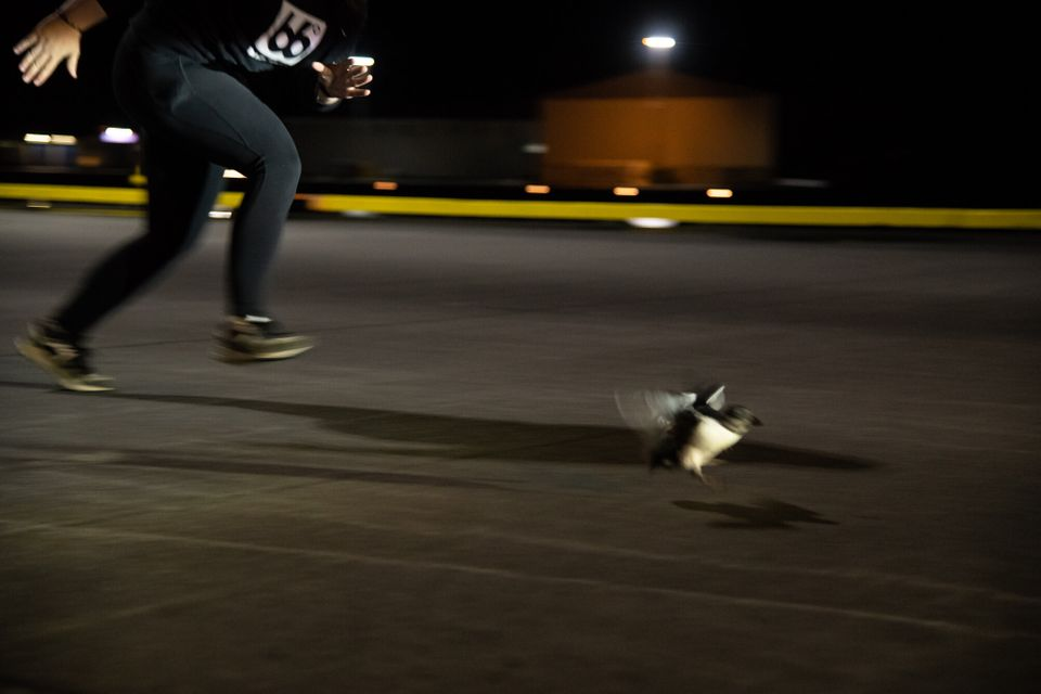 Sandra Sif Sigvardsdóttir sprints after a puffling on the dock during a late-night puffin rescue