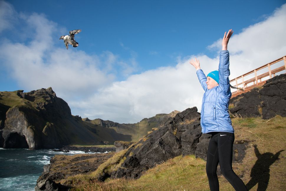 Sóldis Sif releases a puffling at the cliffs. Their wings are small meaning they must be launched into the air to get