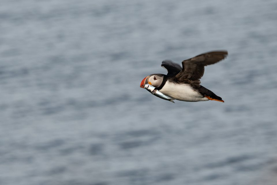An adult puffin in Iceland flies with a fish in its mouth. Even though the seabirds seem plentiful, the...