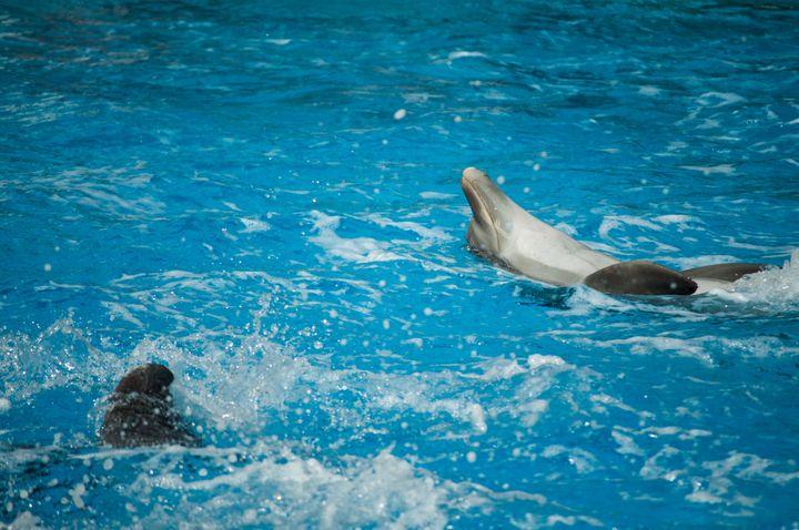 Les deux espèces de dauphins présentées dans les delphinariums français, Orcinus Orca (Orques) et Tursiops Truncatus (Grand dauphin - Flipper) ne sont pas classées en danger d'extinction. Leur conservation dans des bassins ne peut donc se justifier pour cette raison.