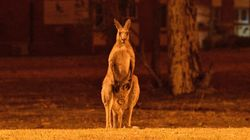 Number Of Animals Feared Dead In Australia's Wildfires Soars To Over 1