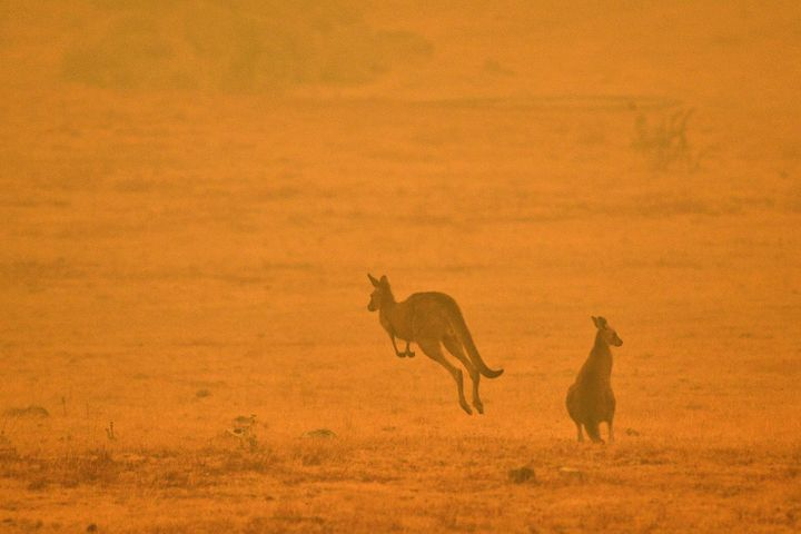 As tens of thousands of residents fled their homes amid catastrophic conditions in early January, a kangaroo jumps in a field shrouded with smoke from a bushfire in Snowy Valley.
