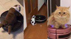 로봇청소기에 올라탄 동물들은 이렇게나 귀엽다 (영상