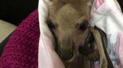 Vous pouvez aider les animaux rescapés des incendies en Australie avec de simples petits