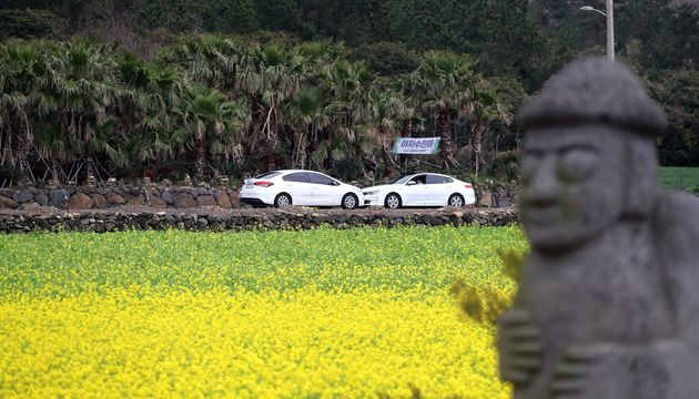 제주도 일 최고기온이 22.5도를 기록한 7일 오후 서귀포시 사계리의 한 밭에 봄꽃인 유채꽃이 활짝