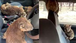 Des ados australiens remplissent leur voiture de koalas pour les