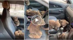 L'Arca di Noè del 2020. Riempiono l'auto di koala per salvarli dagli incendi in Australia