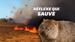Pour survivre aux incendies en Australie, certains animaux ont des techniques