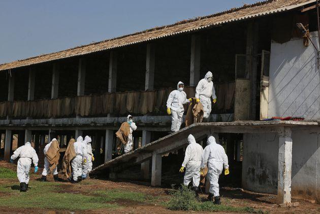 H5N1 Bird Flu Outbreak Reported InChhattisgarh: World Organisation for Animal
