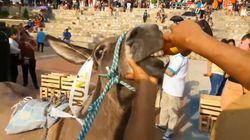 Indignación en las redes por las imágenes de un burro forzado a