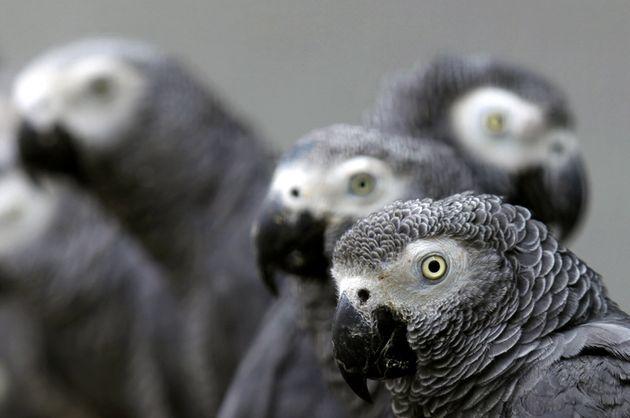 Papagaio-cinzento é um dos mais inteligentes e solidários da