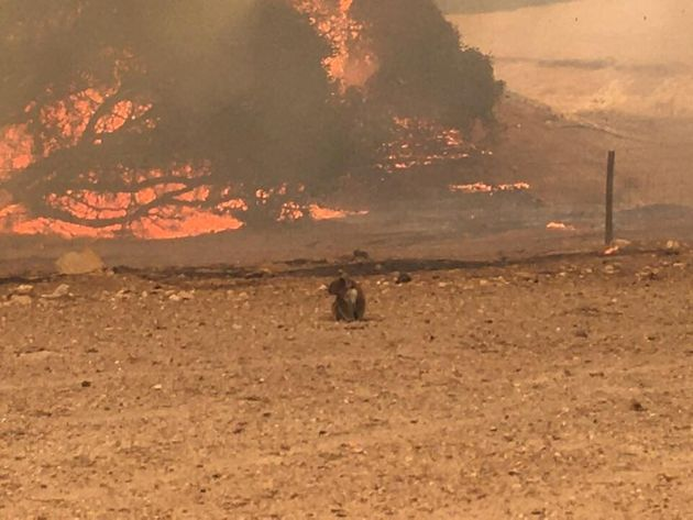 Koala stands in the field with bushfire burning in the background, in Kangaroo Island, Australia January...