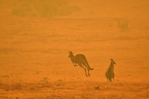 A kangaroo jumps in a field amidst smoke from a bushfire in Snowy Valley on the outskirts of