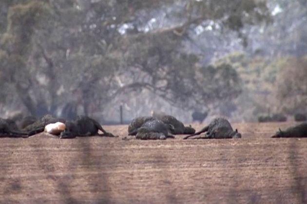Αυστραλία: Γήπεδο γκολφ έχει γίνει τόπος εκτέλεσης καγκουρό που έχουν τραυματιστεί από τη