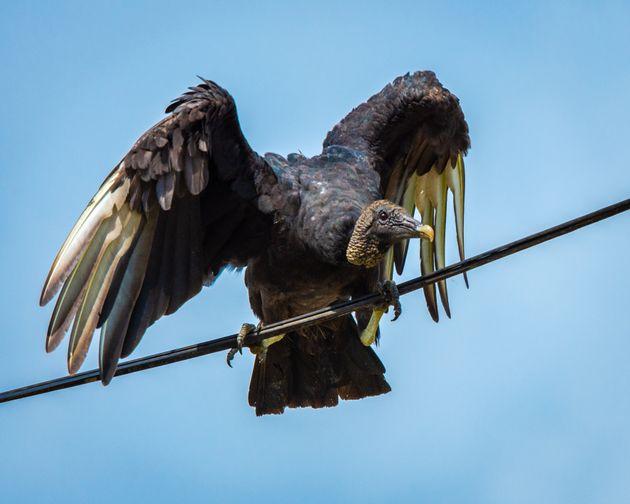 À la frontière mexicaine, du caca de vautours empêche les douanes de travailler correctement...