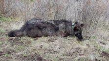 Belohnung Angehoben, Um $7.500 Für Nageln Killer Der Gefährdeten Kalifornien Wolf