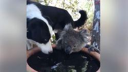 호주에서 코알라와 강아지가 물을 나눠마시는 장면이 포착됐다
