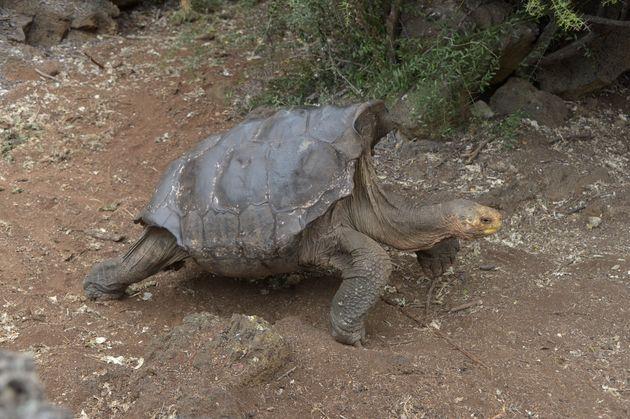 Ντιέγκο, η χελώνα με την αχαλίνωτη σεξουαλική ζωή που έσωσε το είδος της από