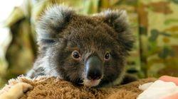 30 millions d'euros en 10 jours, les koalas australiens boostent les cagnottes en