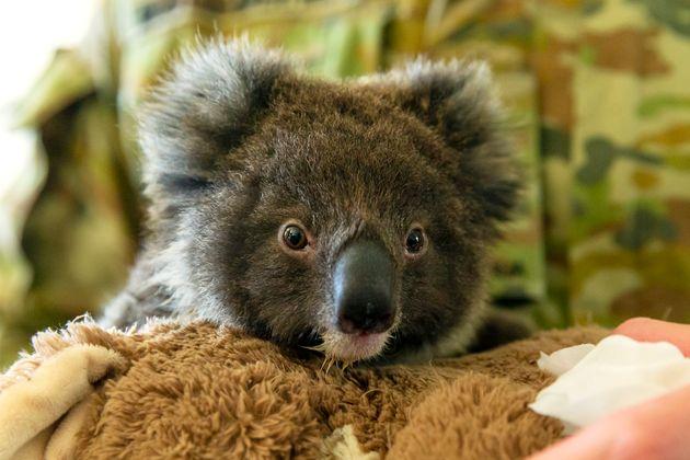 Un koala sauvé des incendies en