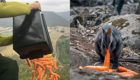 Fire-Stricken Wallabies Fed With Thousands Of Kilos Of Vegetables Dropped Over