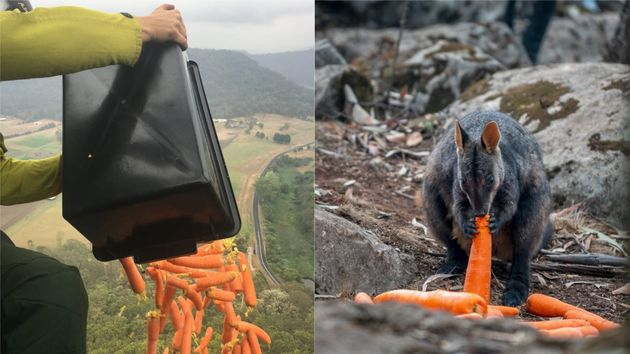 Bushfire-Stricken Wallabies Fed With Thousands Of Kilograms Of Vegetables Dropped Over