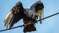 À la frontière mexicaine, des excréments de vautours gênent le travail des
