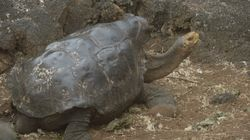 Diego The Tortoise's Sex Drive Saved His Species From Extinction. Now He's