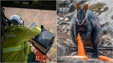 'Operasi Batu Wallaby' Airdrops Makanan Untuk Australia Api-hewan-Hewan yang Terkena