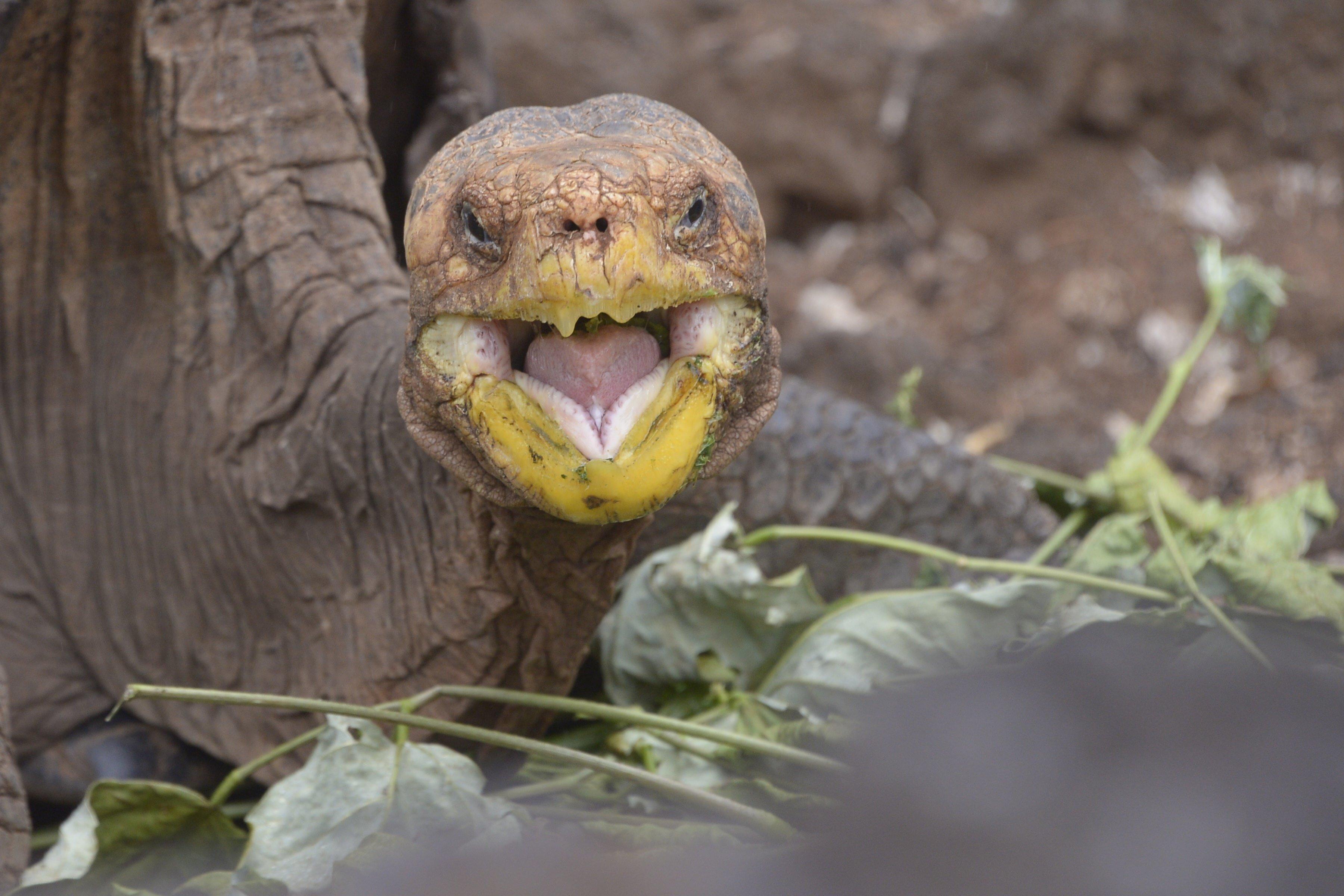 100-Year-Old Tortoise Sex God Retires After Making 800 Species-Saving Babies