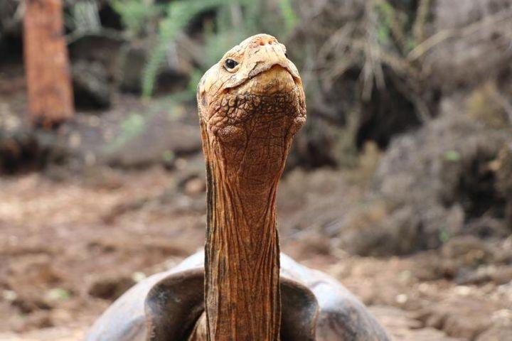 Fotografía del 9 de enero de 2020, cedida por el Parque Nacional Galápagos, que muestra a Diego, la tortuga gigante de la isla Española que vivió en EE.UU. y que tras su regreso al archipiélago Galápagos (Ecuador) ayudó a salvar su especie al procrear 800 hijos. Diego retornará este año a su hábitat, donde hace varias décadas los piratas diezmaron a la población de esos animales. Su retorno, planeado para marzo próximo, deriva del cierre del programa de reproducción en cautiverio de la especie Chelonoidis hoodensis, una vez que se ha evidenciado la recuperación de las condiciones del hábitat y de la población de tortugas en Española. EFE/ PARQUE NACIONAL GALAPAGOS/