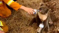 Χιλιάδες άνθρωποι έχουν υπογράψει αίτηση για τη μεταφορά κοάλα στη Νέα