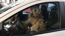 Lascia i cani soli in auto, loro richiamano la padrona suonando il