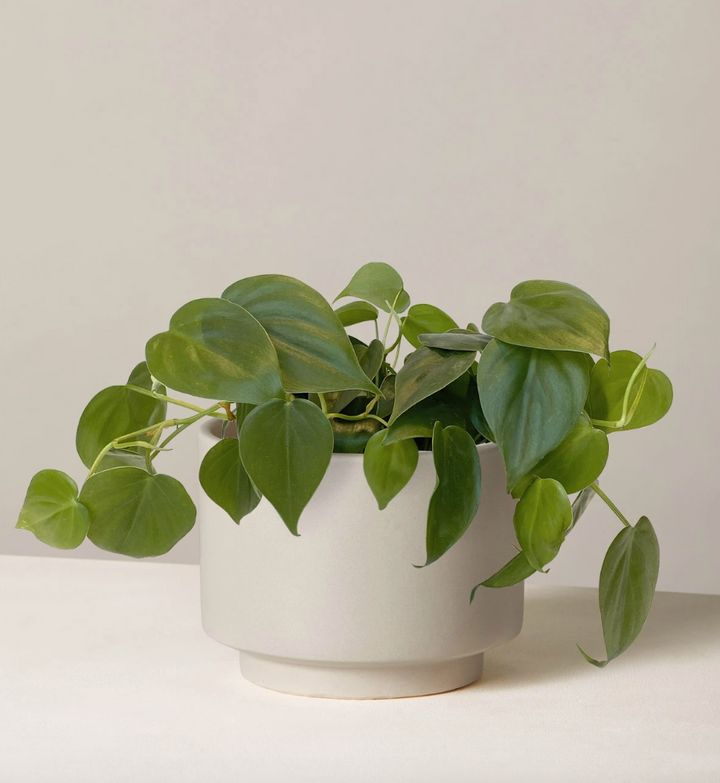 "This is the most popular plant at The Sill, according to the brand. It has heart-shaped leaves and vines that just keep on growing.&nbsp;<strong><a href=""https://fave.co/30jpVaU"" target=""_blank"" rel=""noopener noreferrer"">Originally $51, get it now for $38</a>.</strong>"