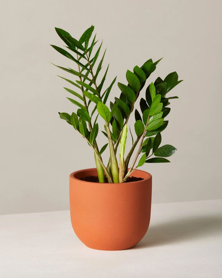 "The&nbsp;ZZ Plant has thick, wavy green leaves and is known to be air-purifying.&nbsp;<strong><a href=""https://fave.co/2FRzVyl"" target=""_blank"" rel=""noopener noreferrer"">Originally $51, get it now for $38</a></strong>."