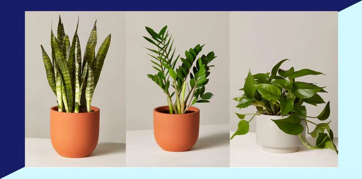 Don't leaf this deal in the dust: The Sill's offering 25% off select houseplants.