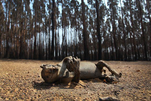 A dead koala is seen among Blue Gum trees in the bushfire-ravaged outskirts of the Parndana region on...